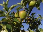 apple-185550_640