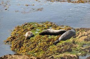 pebble beach harbor seal