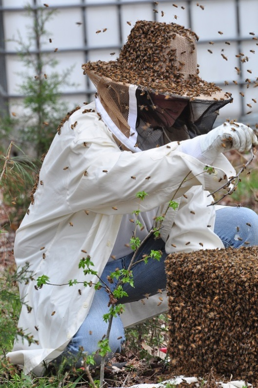 beekeeper catching a swarm